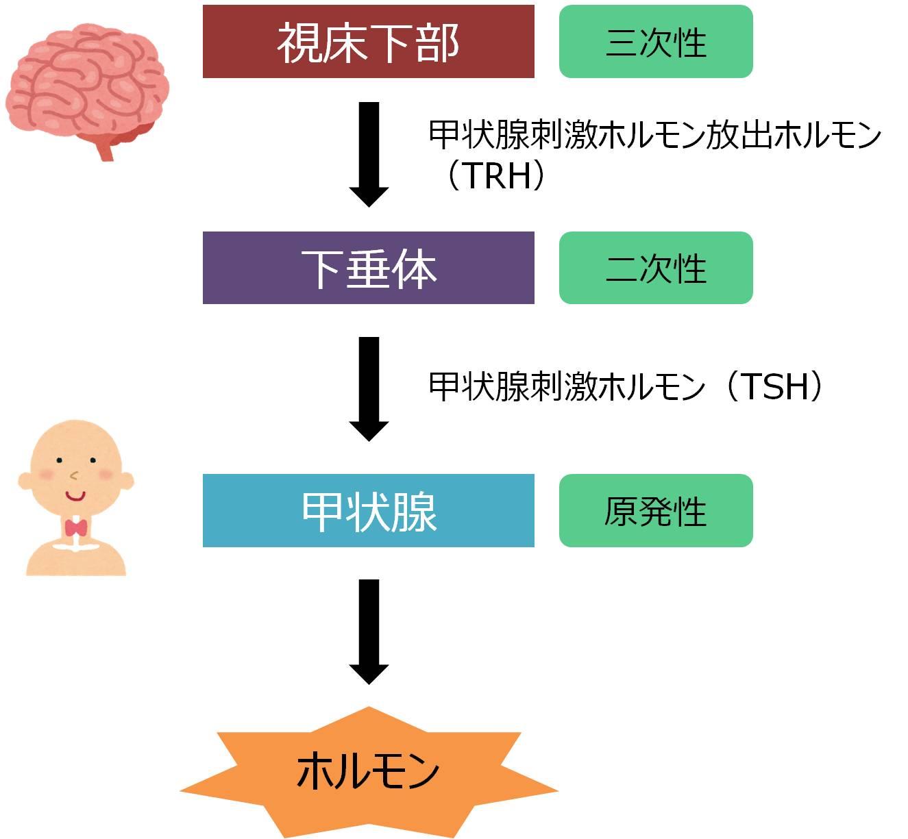 甲状腺ホルモン 分泌 合成