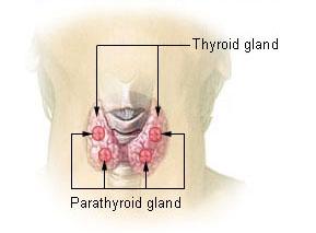 甲状腺 副甲状腺