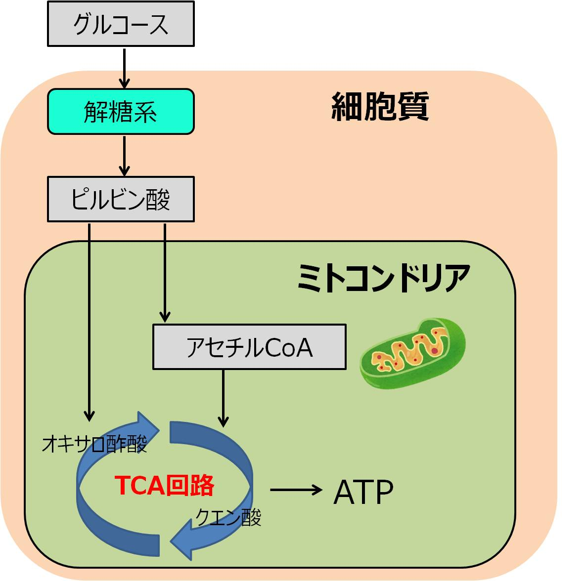 ケトン体 解糖系
