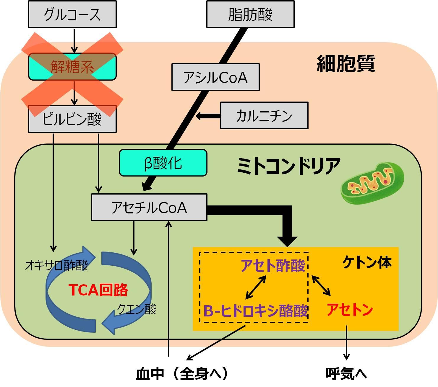 ケトン体 脂肪酸 代謝