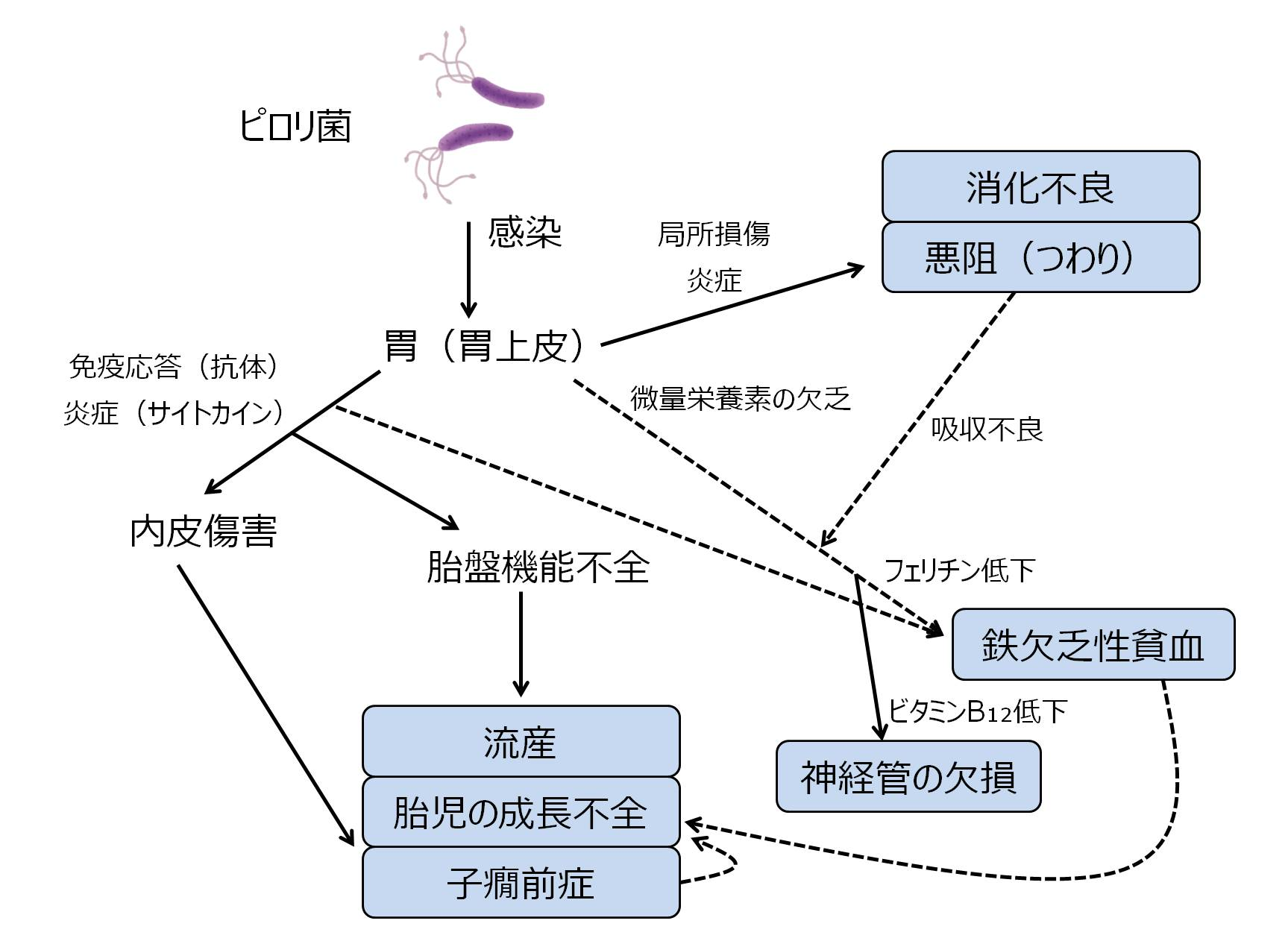 ピロリ菌 妊婦 妊娠 悪阻 流産 子癇前症 妊娠高血圧腎症