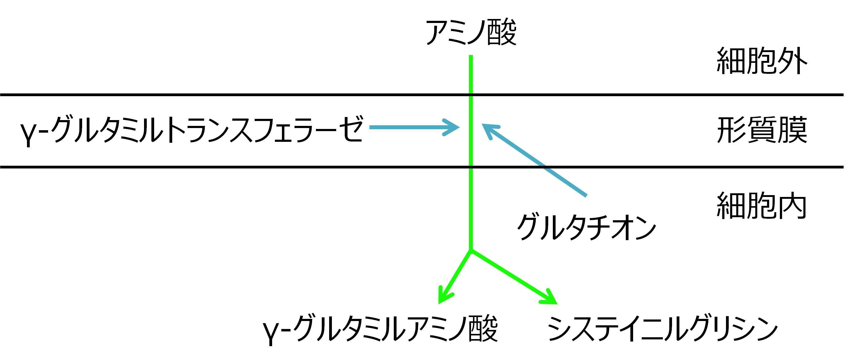 γ-GTP γ-グルタミル回路