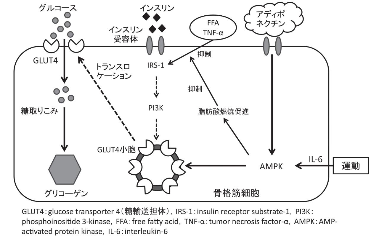 運動 インスリン グルコース AMPK GLUT4